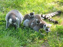 Kattas im Zoo von Wismar